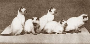 Litter of Siamese ca. 1903