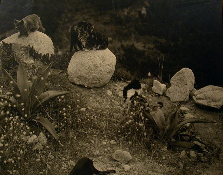E Weston, cats on rocks 1944