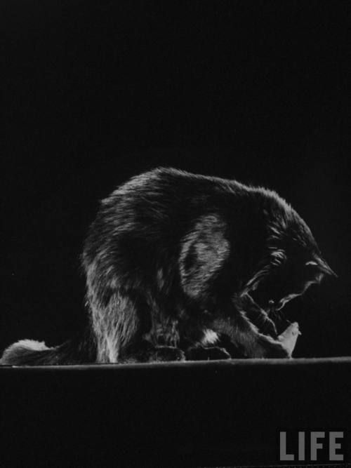 Gjon Mili's cat Blackie playing w. toy mouse.